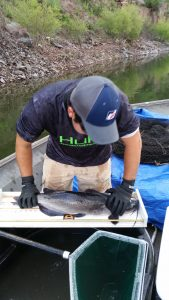 Biologist measuring Channel Catfish at Parker Canyon Lake