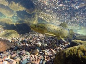 Brown Trout at Canyon Creek