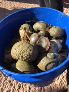 Invasive Apple snails removed from Red Mountain Lake